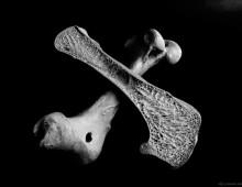 ダチョウ 大腿骨 Ostrich Femur