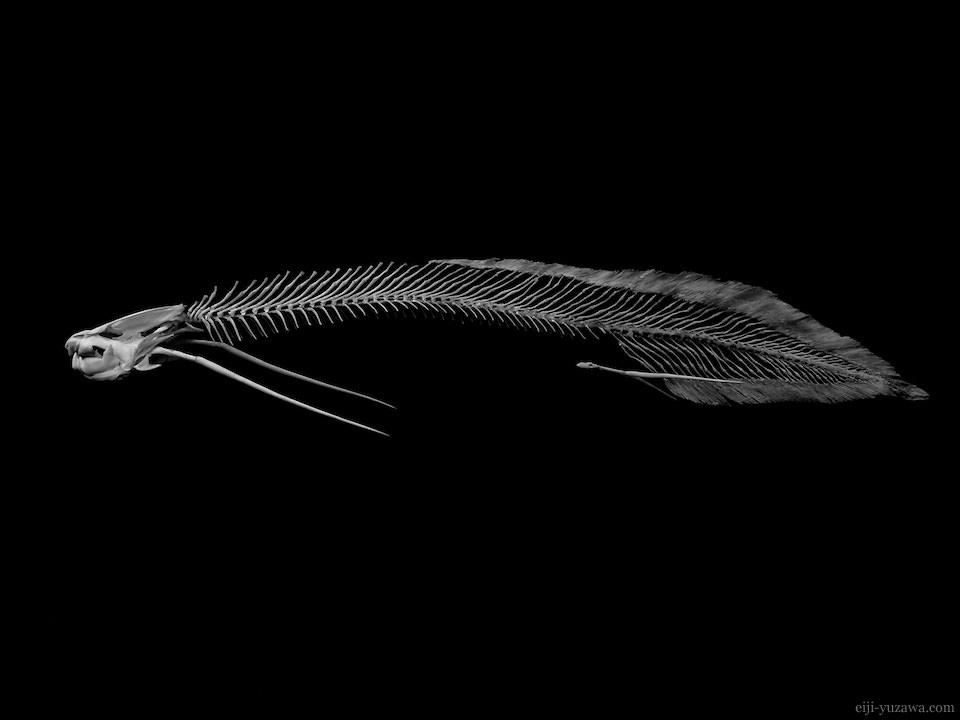 REAL BONES          Lungfish Bones