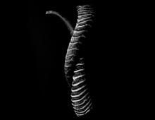 スプリングボック 角鞘 Horny sheath, Springbok