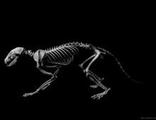 アライグマ 骨格 Raccoon Skeleton