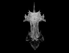 クロソイ 頭骨 Skull, Schlegel's black rockfish