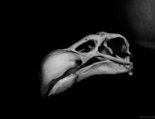 コンドル 頭蓋 Andean condor Skull