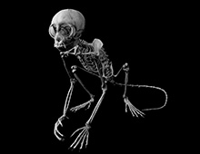 リスザル 骨格 Common squirrel monkey Skeleton