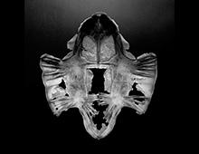 ヒラタウミガメ 腹甲 Plastron Flatback turtle