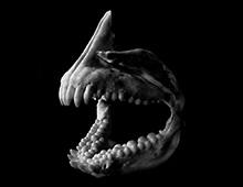クロダイ 前上顎骨と歯骨 Premaxillary and dentary bones,Black sea bream