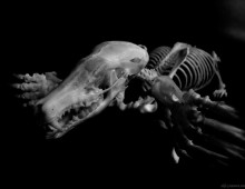 アズマモグラ 骨格 Small japanese mole Skeleton