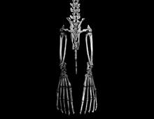 ミナミアフリカオットセイ 後肢骨 Brown fur seal Skeleton of hindlimb