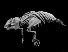 アメリカマナティー 骨格 West Indian manatee Skeleton