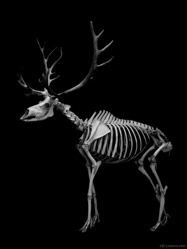 トナカイ 骨格 Reindeer Skeleton
