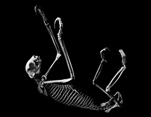 フタユビナマケモノ 骨格 Linnaeus's two-toed sloth Skeleton