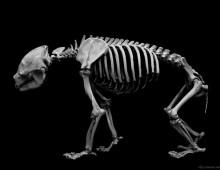 ジャイアントパンダ 骨格 Giant panda Skeleton